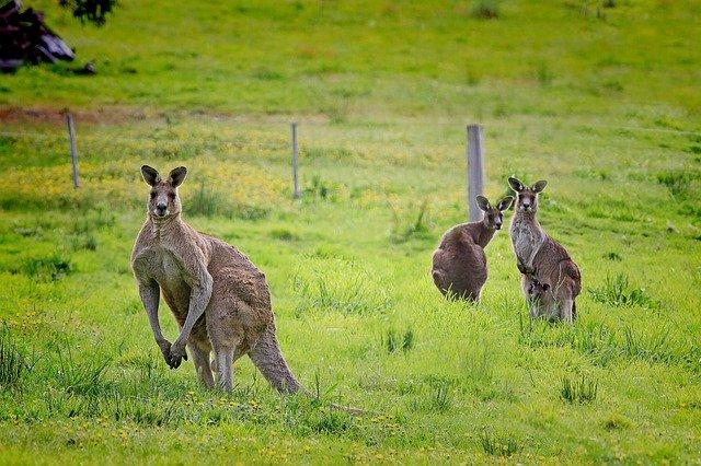 Negara asal kanguru
