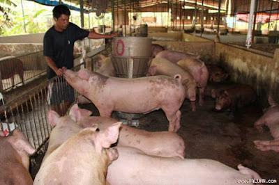 """Nông dân nuôi heo ở Đồng Nai vẫn chưa thoát khỏi """"thảm cảnh"""" giá heo hơi giảm sâu suốt từ trước Tết Nguyên đán đến nay. Ảnh: Trần Đáng"""