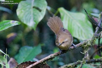 Cinnycerthia peruana