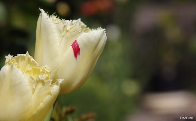 Tulipe jaune avec tache rouge