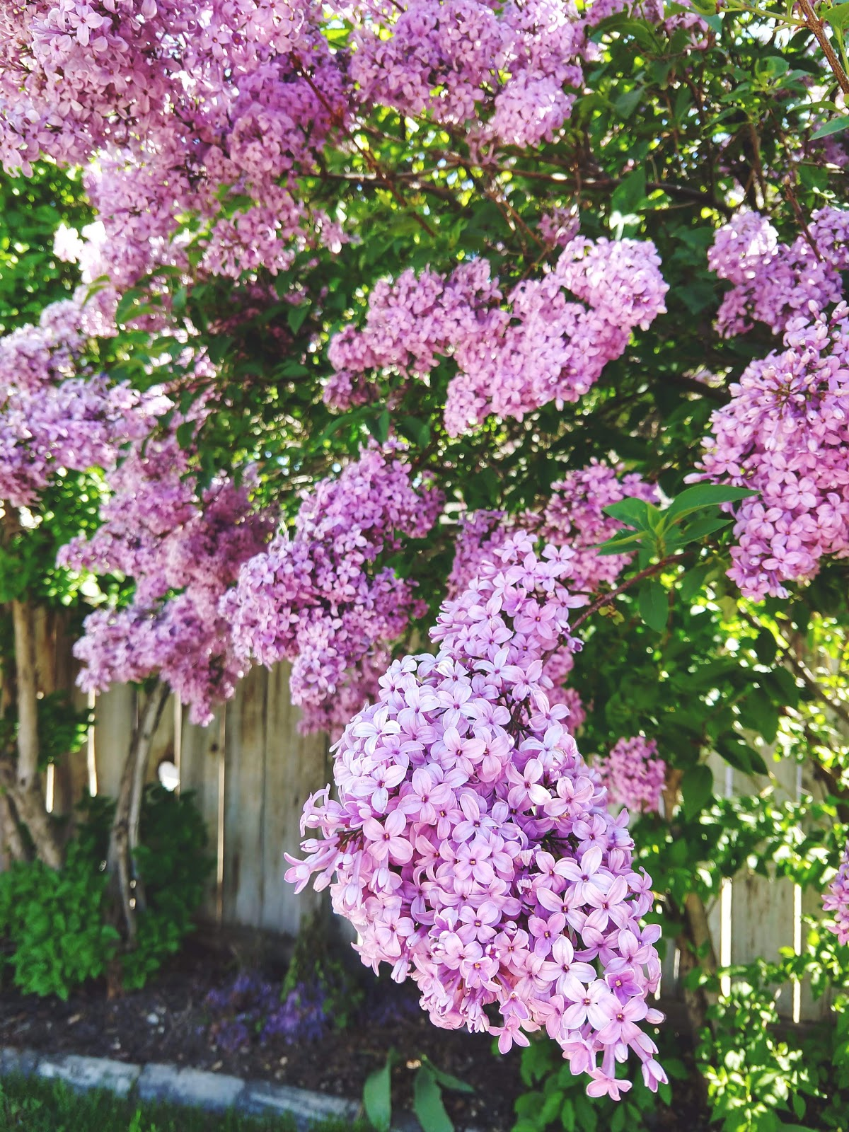 Full bloom lilac tree // www.thejoyblog.net