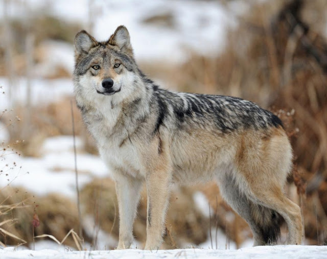 Wolf, Mexican gray wolf,