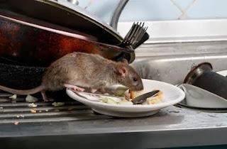 Rat dream interpretation, rat dream