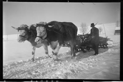 Rinder als Zugtiere vor einem Holzschlitten im Winter - Gars am Inn - 1930-1950
