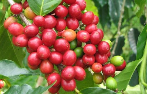 Giá cà phê hôm nay 31/7: Dao động trong khoảng 35.800 - 37.000 đồng/kg