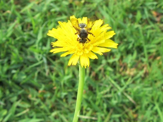 Impollinazione ape fiore