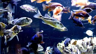Cichlids Fish Community Tank 4K HD Background
