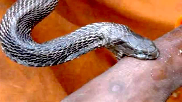 ular-berbisa-yang-mematikan_7898908_jpg.jpg