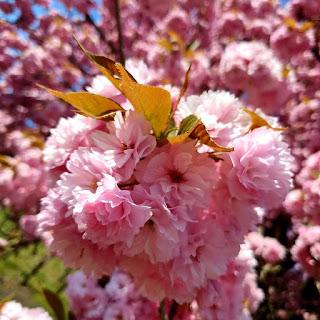 Mor erguvan ağacı Erguvan ağacı faydaları Beyaz Erguvan ağacı Erguvan Ağacı Fidanı