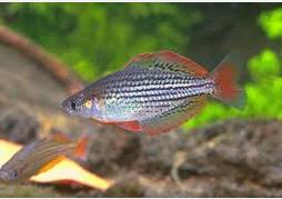 Ikan Hias Air Tawar Terindah Rainbow Melanotaenia Macculochi Ogilby