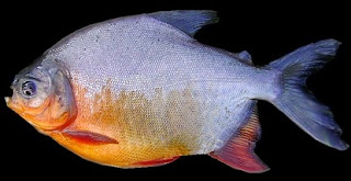 Tips Jitu Teknik memancing,umpan mancing ikan bawal harian, malam hari, besar, galatama, di empang, tawar, bawal dan lele, ikan bawal air tawar,