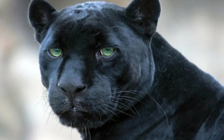Abuelitos crían a un jaguar negro y ahora es su gato