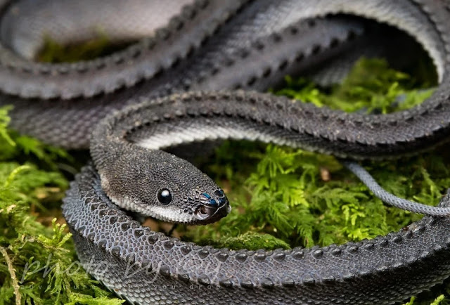 facts about dragon snake