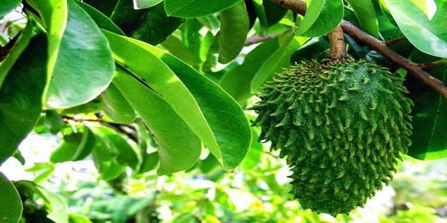 manfaat daun sirsak bagi kesehatan