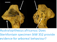 https://sciencythoughts.blogspot.com/2018/01/australopithecus-africanus-does.html