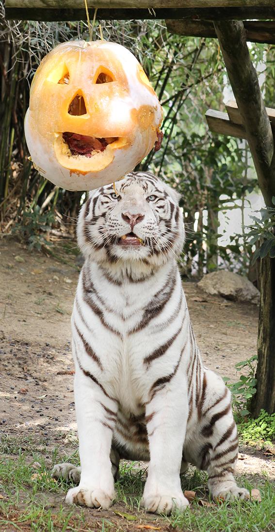 tiger, tigre, pumpkin, zoo, animal