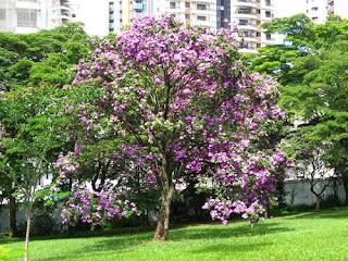 arvore-florida-do-manaca-da-serra-no-jardim