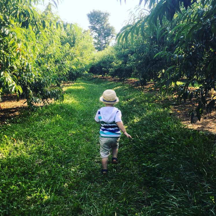 Peach Picking Alstede Picking Farm