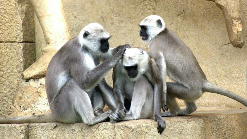 Boom! Hok! A Monkey Language Is Deciphered