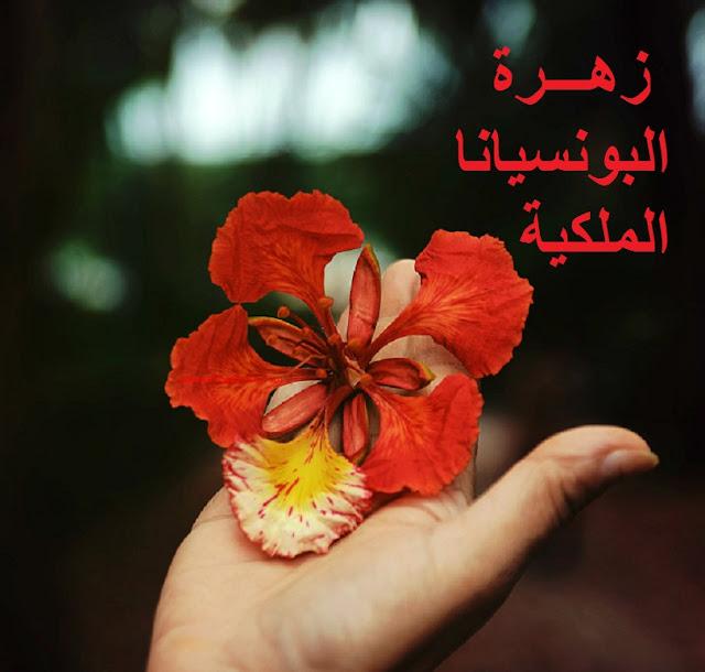 وردة شجرة البونسيانا الملكية