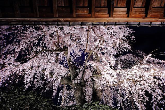 桜 川越 中院 夜桜