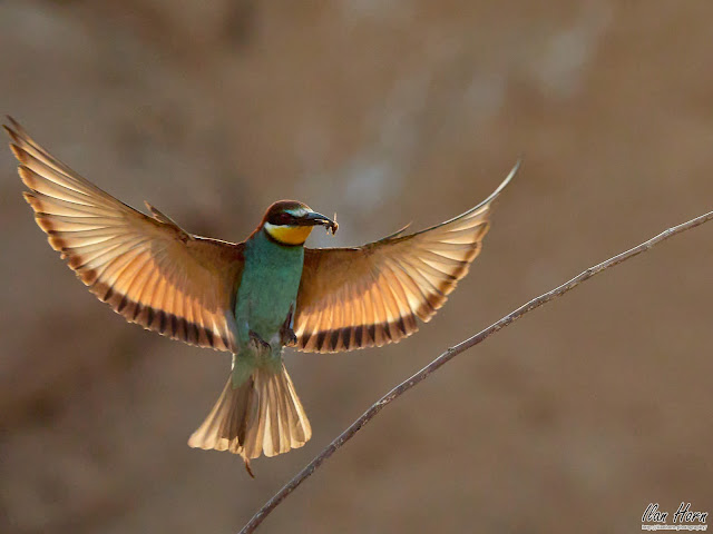 Angelic Bee-Eater