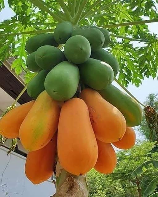 Tips Menanam Pohon Pepaya Agar Dapat Berbuah