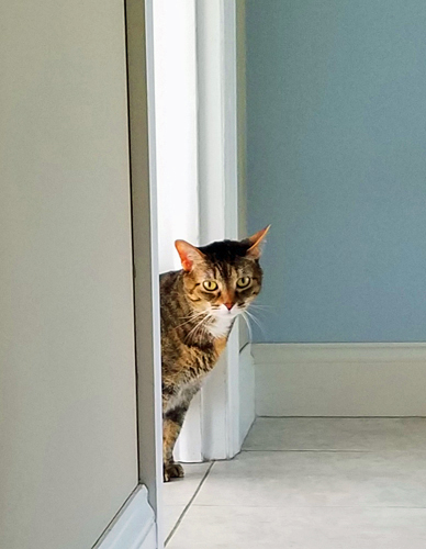image of Sophie the Torbie Cat peeking around the corner from the kitchen into the front hallway