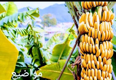 كيف يزرع الموز-banana