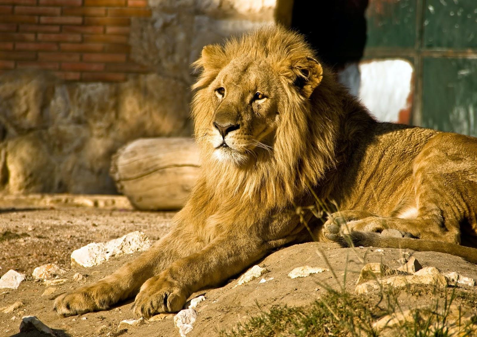 Lion Wildcat Safari,lion images