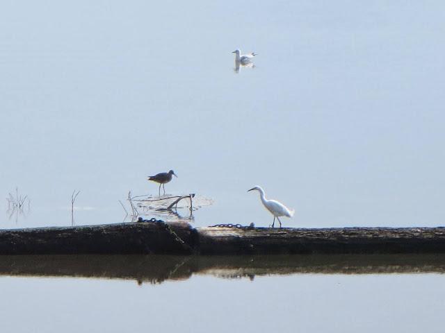 Bay Area Birds: little egret