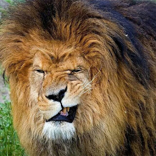 Funny lion picture