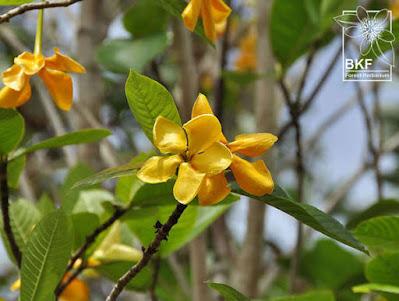 ต้นคำมอกหลวง (ผ่าด้าม) ไม้ดอกพุดของไทย