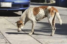 como alimentar um cachorro desnutrido