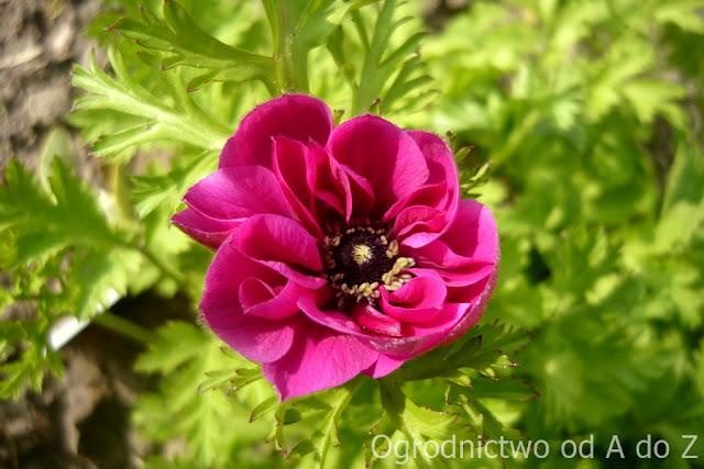 Anemone coronaria de Caen 'Sylphide'
