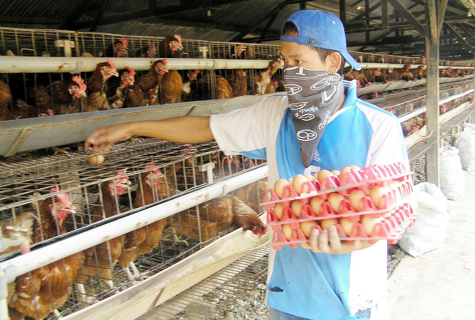 Menelisik Problem Ayam Petelur Modern