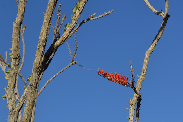 ocotillo bloom, a stem with a row of red barrels