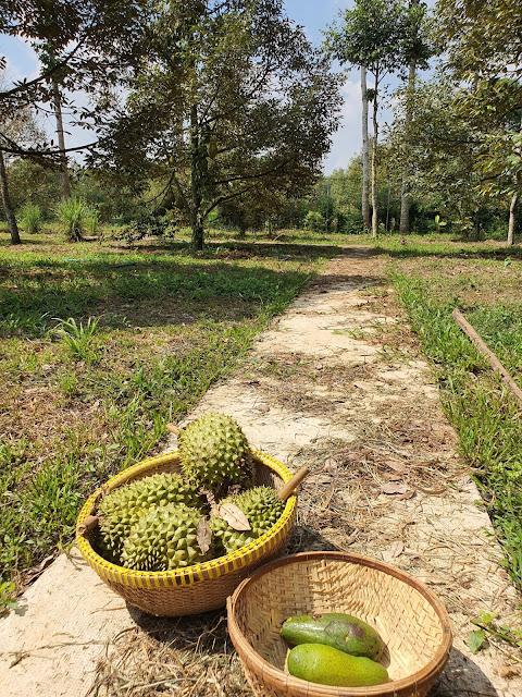 Gom sầu riêng rụng hàng ngày tại vườn