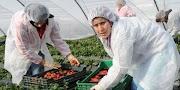 شركة فلاحية باغية تخدم 30 عاملة بلا دبلوم و لا قرية في الفيرمات ديالها في اكادير