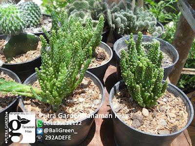 kaktus tanaman hias yang tahan panas cahaya matahari