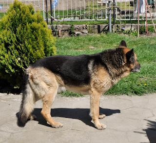 german shepherd rescue colorado