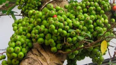 Thảo dược cây sung trị bệnh dân gian sỏi thận