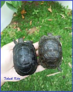 Aldabra turtle