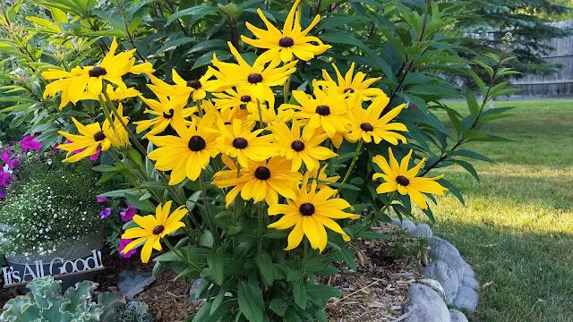Photo of blooming perennial Black Eyed Susans