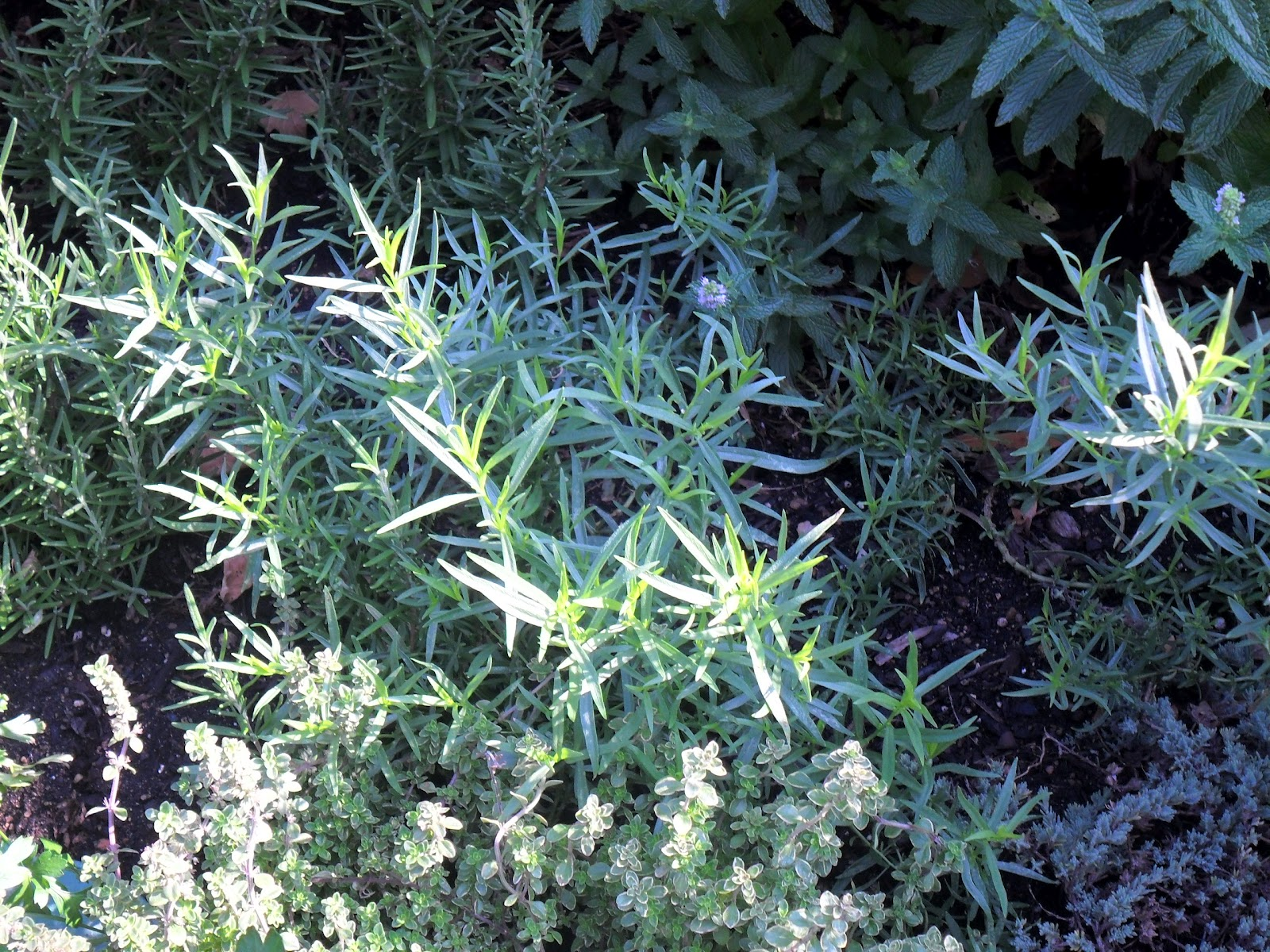 Backyard Patch Herbal Blog: Herb Garden Event - Chicago Botanic Gardens
