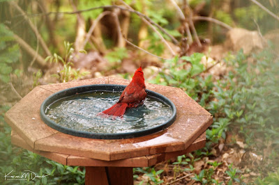 male cardinal in bird bath