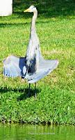Great blue heron sunning TX, by Jodi Arsenault