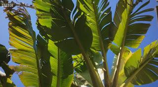 Joe Swift banana plant