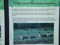 Because of introduced predators, nene became almost extinct. Honolulu Zoo, Oahu