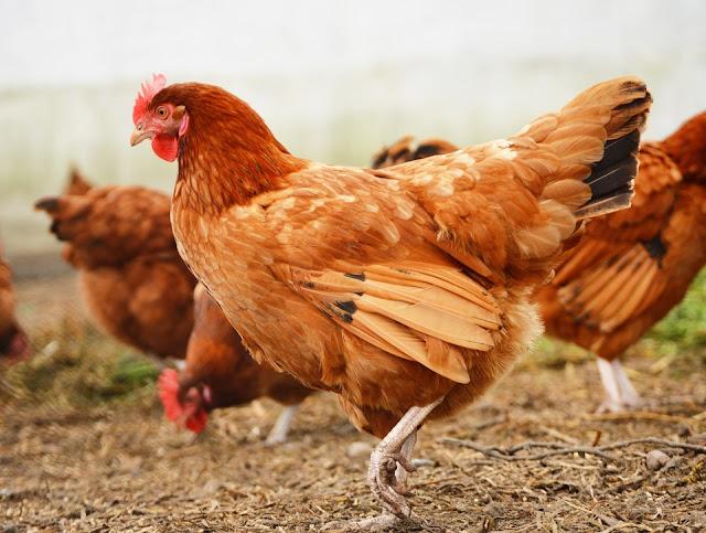 Jadikan Ternak Ayam Kampung Sebagai Investasimu! Dengan digibank KTA Akan Terwujud